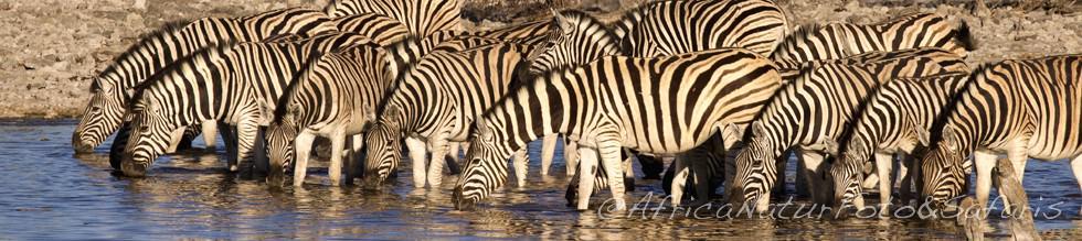 Etosha Park, Zebra 89