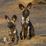 Wildogs Botswana