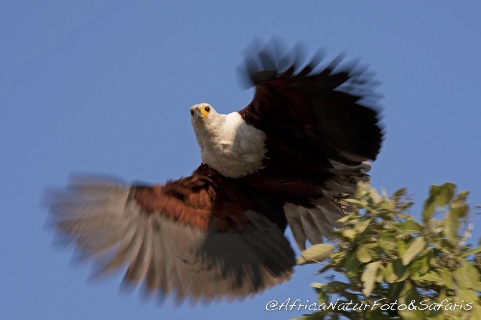 African fish eagle lake Malawi