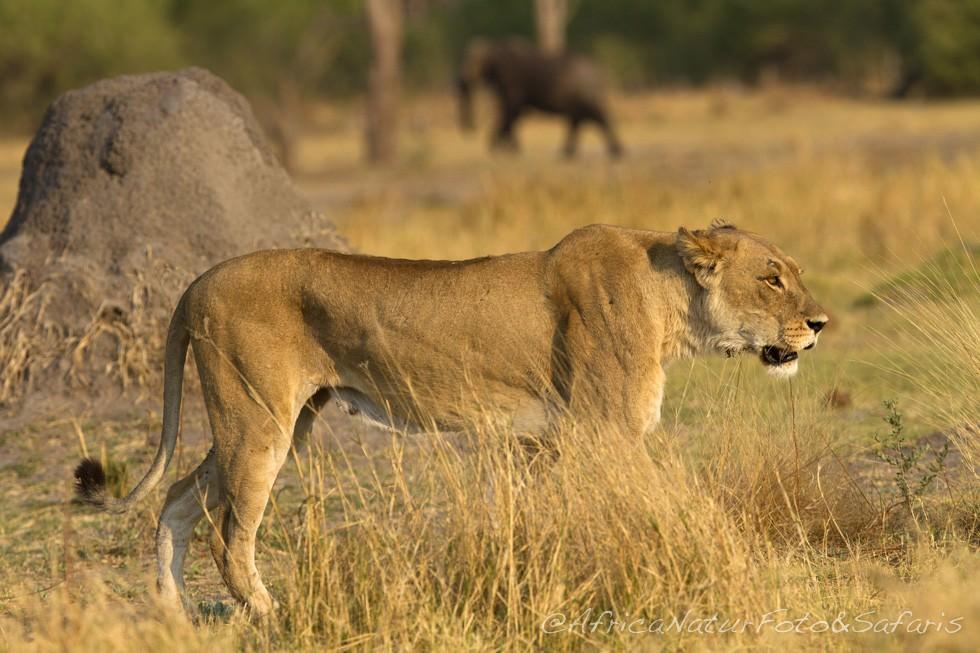Lioness in Okavango delta