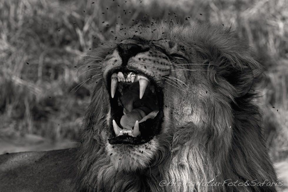 Male Lion Savuti