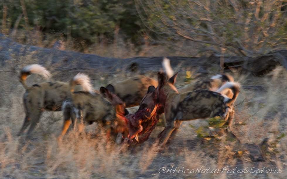 Wild dogs Hanting