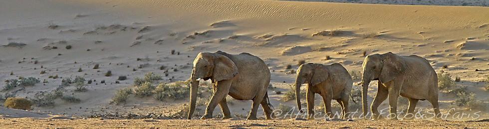 Desert Elephants Nambia 2
