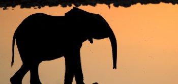 Elefantino di Mfuwe