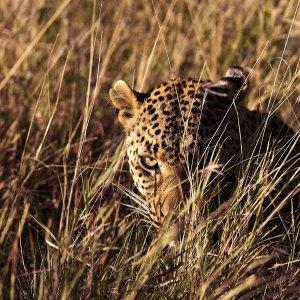 leopardo in agguato