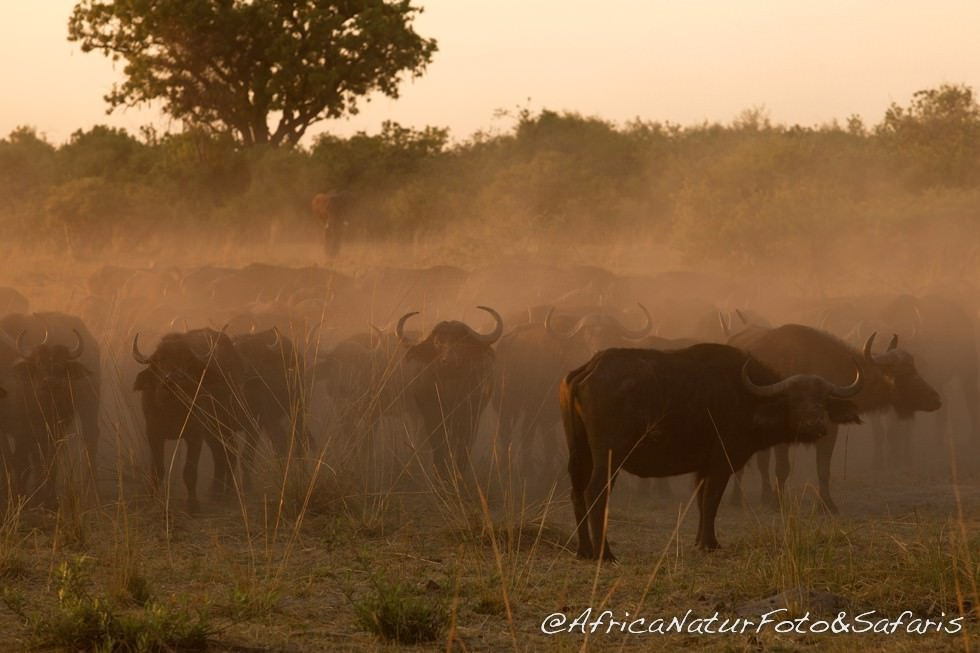 Herd of buffalo ( Syncerus caffer ) , park on the Lower Zambezi
