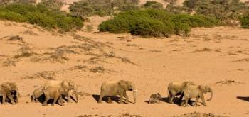 Elefanti del deserto della Namibia