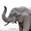 Viaggio Botswana in lusso: elefante