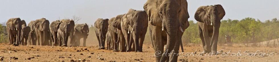 Elephants Namibia 80