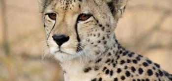 Esplorando il Botswana: Ghepardo
