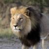 Fotosafari in Botswana: Leone
