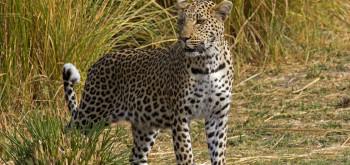 Male Leopard Moremi