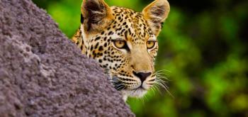 Zambia, Leopardo nel Parco Sud Luangwa