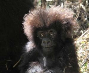 Cucciolo di gorilla
