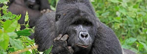 il gorilla pensatore