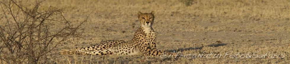 Cheetah 61