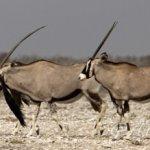 Gruppo Oryx 19