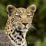 Leopardo 49